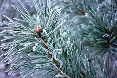 Ветвь сосны Стоковая Фотография RF