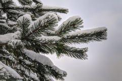 Ветвь сосны coverd снега Стоковая Фотография