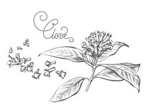 Ветвь специи гвоздичного дерева, лист, цветок, бутон Стоковые Изображения