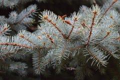 Ветвь спруса сини часть Стоковое фото RF