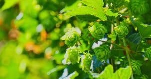 Ветвь с зелеными конусами хмеля видеоматериал