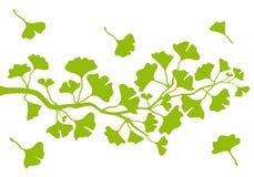 Ветвь с листьями, вектор Ginkgo Стоковая Фотография RF