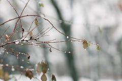 Ветвь с листьями покрыла со свежим снегом стоковое фото