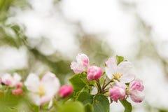 Ветвь с розовыми цветками одичалой яблони Стоковое Изображение RF
