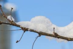 Ветвь с снегом Стоковая Фотография
