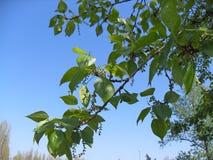 Ветвь тополя весны с catkins стоковое изображение rf