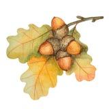 Ветвь дуба акварели с жолудями бесплатная иллюстрация