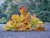 Ветвь дуба с одним жолудем на мостоваой Стоковое Изображение RF