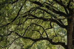 Ветвь дуба Стоковые Фотографии RF