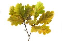 Ветвь дуба Стоковое Изображение RF