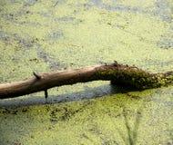 Ветвь упаденная от дерева покрытого с мхом Стоковая Фотография