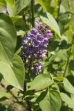 Ветвь фиолетовых цветков сирени Стоковая Фотография RF