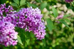 Ветвь фиолетовой сирени Стоковые Изображения
