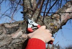 Ветвь фруктового дерев дерева садовника подрезая в саде Фруктовое дерев дерево ручной резки садовника с секаторами обхода Стоковые Фото