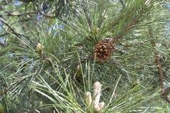 Ветвь хвои с коричневой шишкой стоковое фото rf
