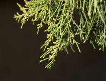 Ветвь хвойного дерева в природе Макрос Стоковые Фотографии RF