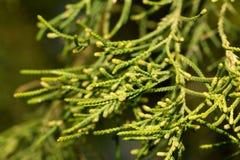 Ветвь хвойного дерева в природе Стоковое Изображение RF
