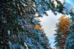 Ветвь хвойного дерева Стоковые Изображения
