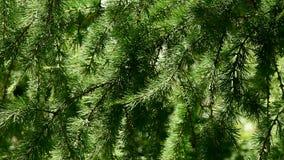 Ветвь хвойного дерева лиственница сток-видео