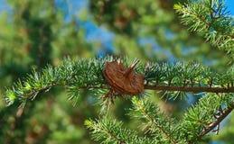 Ветвь хвойного дерева с конусом Стоковые Фотографии RF