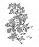 Ветвь хмелей с листьями и конусами хмеля Винтажные хмели для ярлыков, упаковывая, плакат с пивом винзавода производственного проц Стоковые Изображения RF