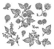 Ветвь хмелей с листьями и конусами хмеля Винтажные хмели для ярлыков, упаковывая, плакат с пивом винзавода производственного проц Стоковое Изображение