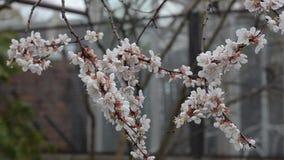 Ветвь цветений абрикоса в саде, сумрак сток-видео