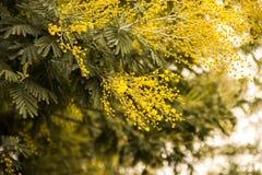 Ветвь цветений мимозы Стоковая Фотография