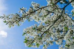 Ветвь цветения весны вишневого дерева зацветая против голубого неба Стоковое Изображение