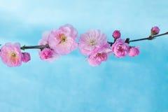 Ветвь цветения весны Стоковое Изображение
