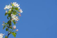 Ветвь цветения яблока Стоковое Изображение RF