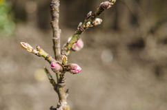 Ветвь цветения Стоковое Фото