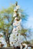 Ветвь цветеня весны стоковая фотография rf