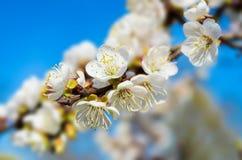 Ветвь цветеня весны стоковые изображения rf