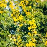 ветвь цветет желтый цвет mimosa Стоковые Изображения RF