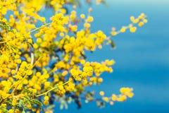 ветвь цветет желтый цвет mimosa Стоковая Фотография RF