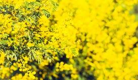 ветвь цветет желтый цвет mimosa Стоковые Фотографии RF
