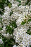 ветвь цветет малая белизна Стоковая Фотография