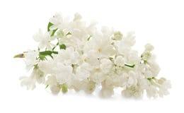 ветвь цветет сирень Стоковая Фотография
