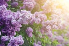 ветвь цветет сирень Стоковые Фотографии RF