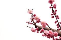 ветвь цветет слива Стоковые Фото