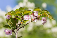 ветвь цветет sakura Стоковые Фотографии RF