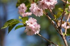 ветвь цветет sakura Стоковая Фотография RF