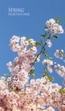 Ветвь цветка вишни весны Сакуры Стоковые Изображения RF