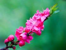Ветвь цветка цветения сливы на зеленой предпосылке Стоковые Фотографии RF