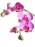 Ветвь цветков и бутонов орхидеи фаленопсиса изолированных на whi Стоковые Изображения RF