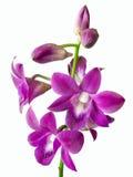 Ветвь цветков и бутонов орхидеи шарлаха изолированных на белом ба Стоковые Фотографии RF