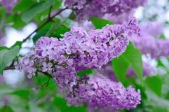 Ветвь цветков сирени Стоковые Изображения