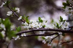 Ветвь цветя конца-вверх яблони Белые цветки на ветви стоковые фотографии rf