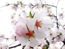 Ветвь цветя миндалины Стоковое Изображение